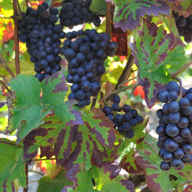"""grapes in vineyard"" stock image"