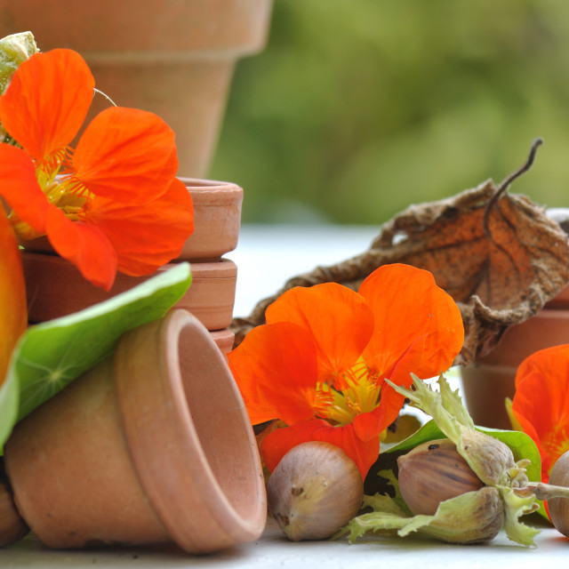 """nasturtium with hazelnuts in garden"" stock image"