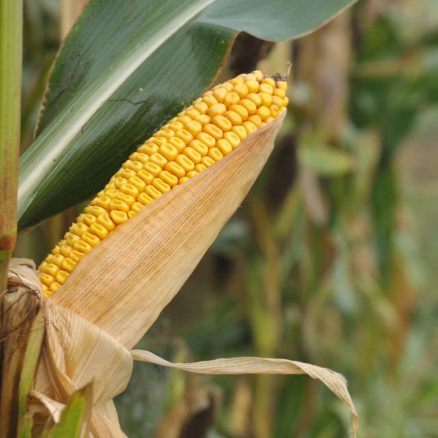 """ear of corn"" stock image"