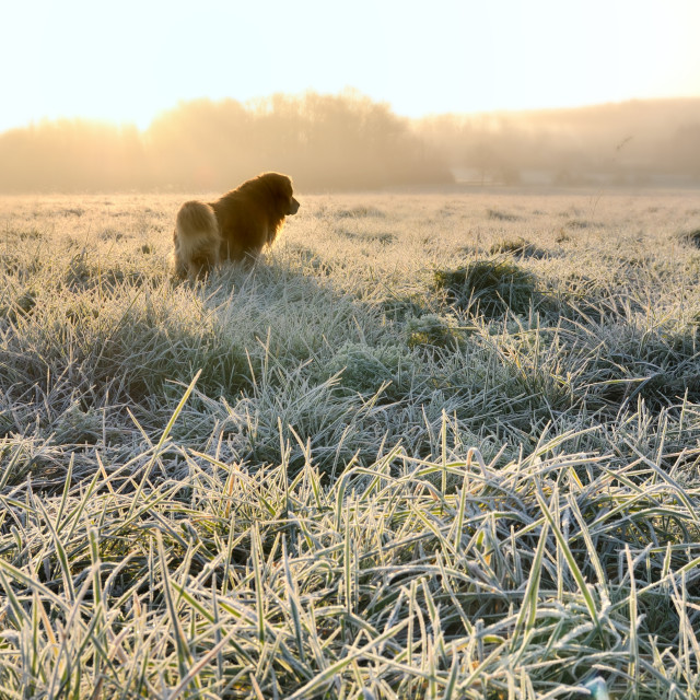 """dog in grass covered with frost"" stock image"