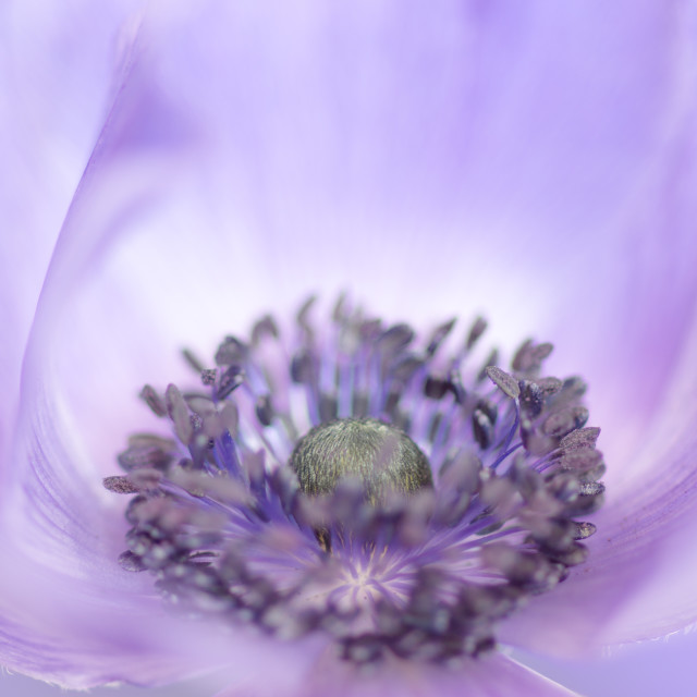 """Purple Poppy"" stock image"