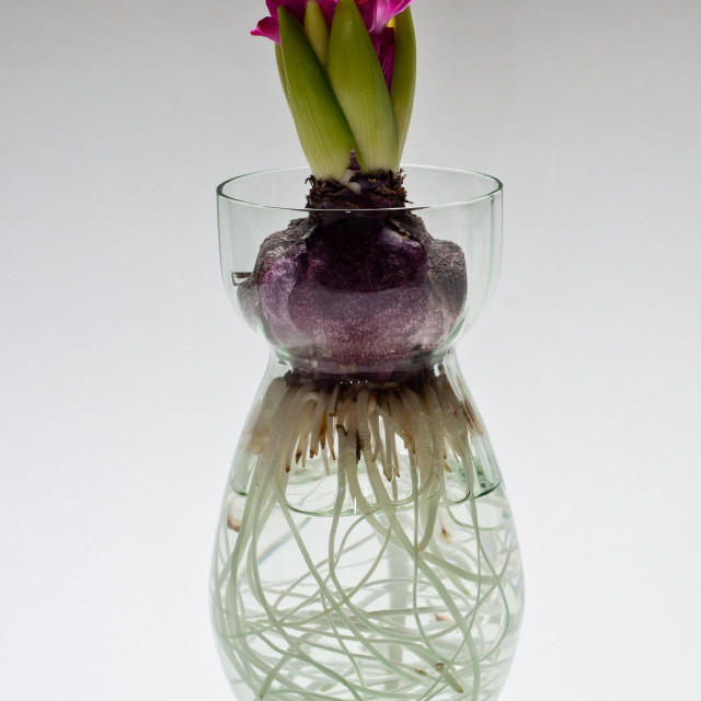 """Hyacinth in water"" stock image"