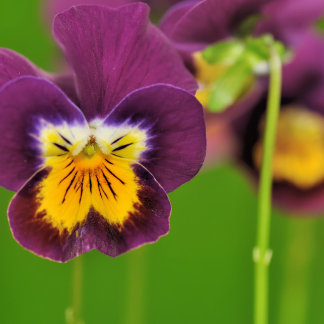 """pretty violet pansy"" stock image"