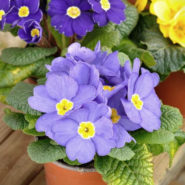 """primroses"" stock image"