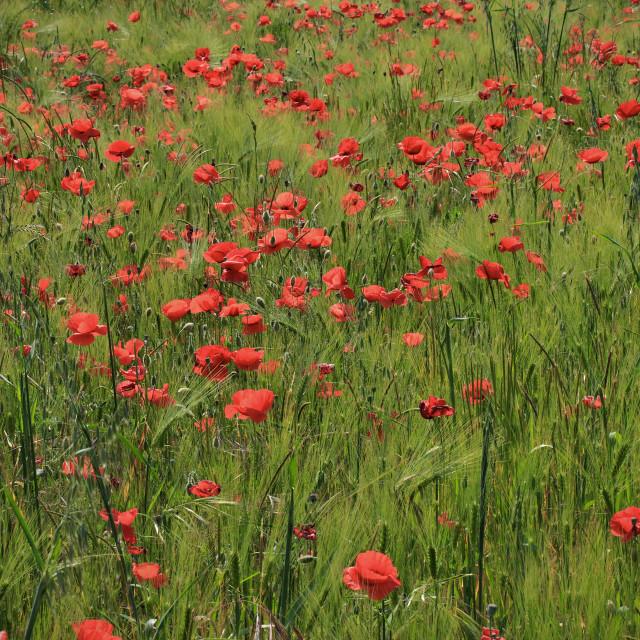 """Poppy & Wheat"" stock image"