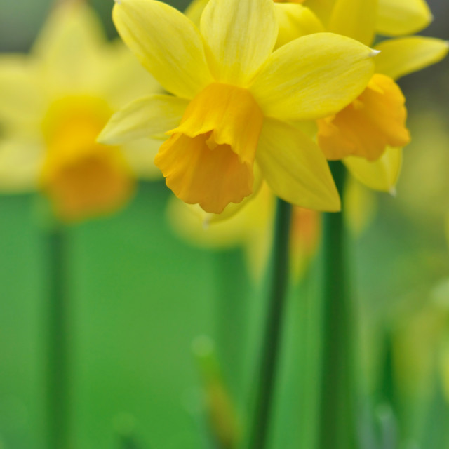 """narcissus flowering"" stock image"