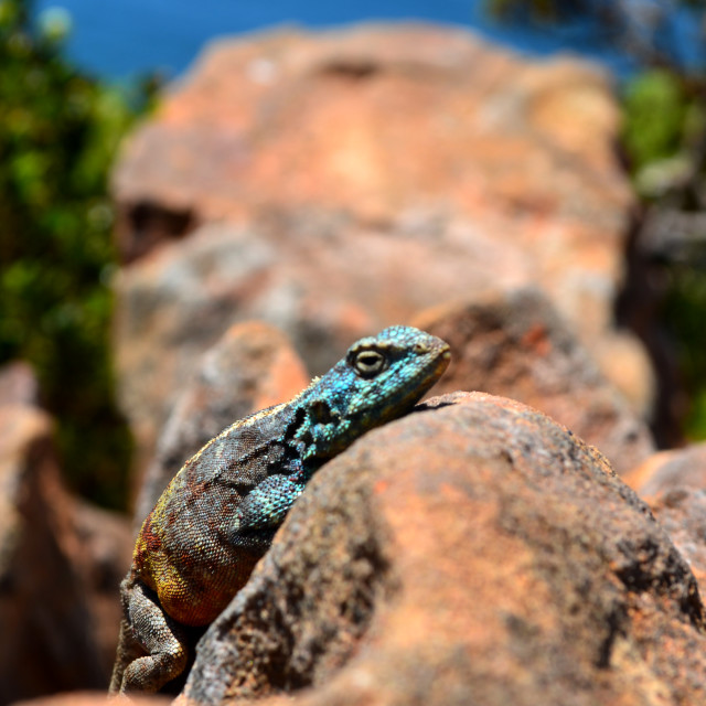"""Blue Lizard"" stock image"