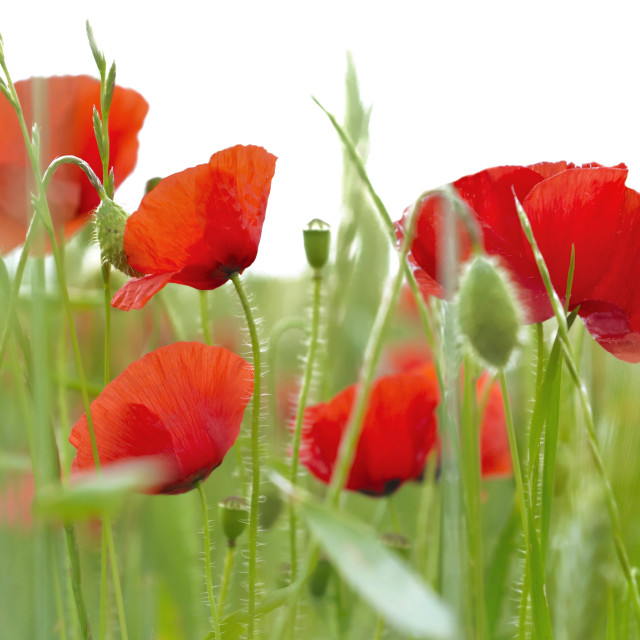 """poppies in a field"" stock image"