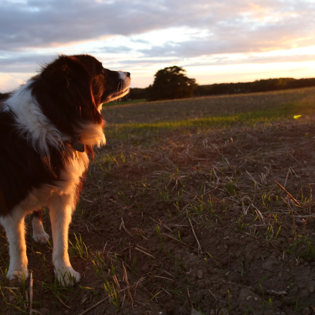 """My dog and her sunset"" stock image"