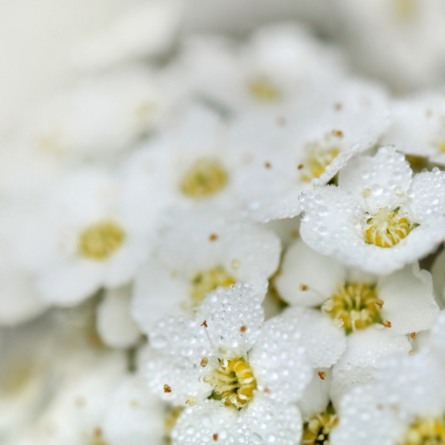 """dew on white flowers"" stock image"