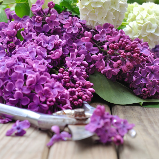 """lilac flowers"" stock image"