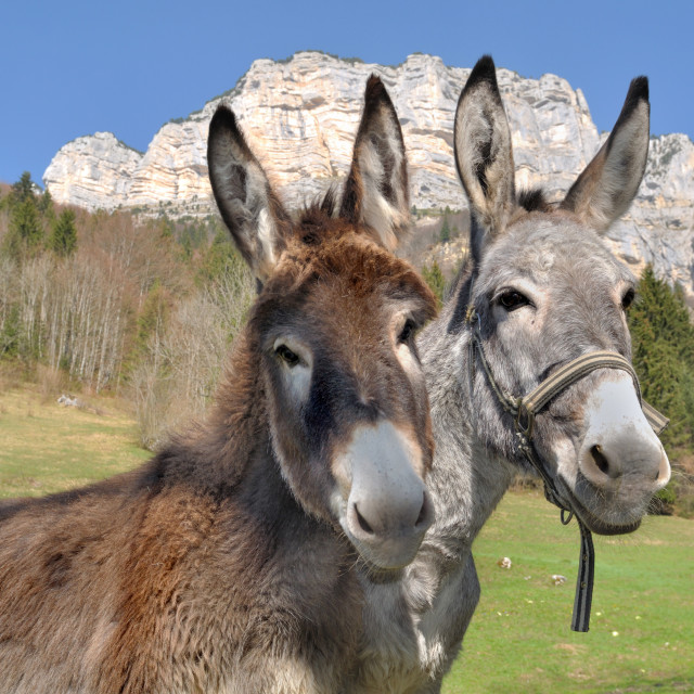 """portrait of two cute donkeys"" stock image"