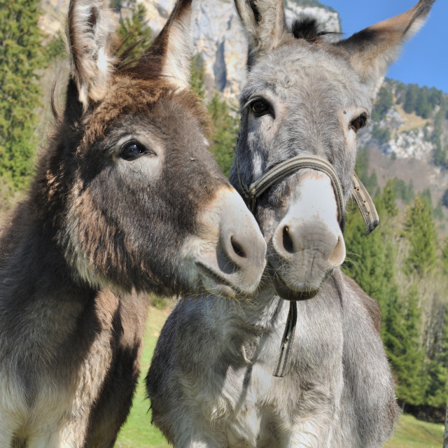 """two cute donkeys"" stock image"