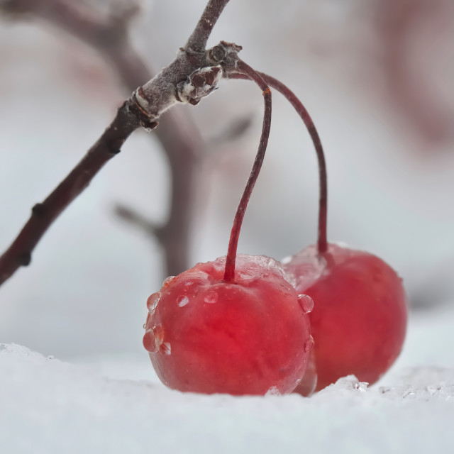 """red berries on the snow"" stock image"
