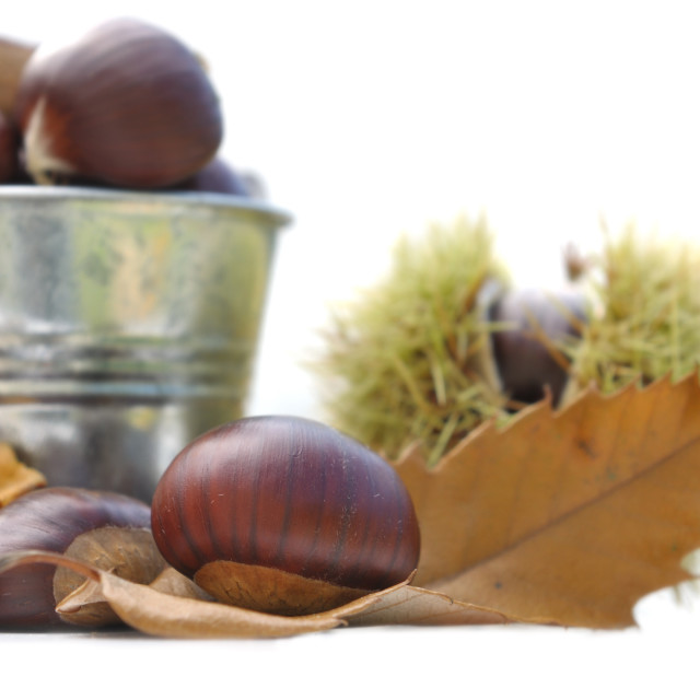 """""""chestnuts on a leaf"""" stock image"""