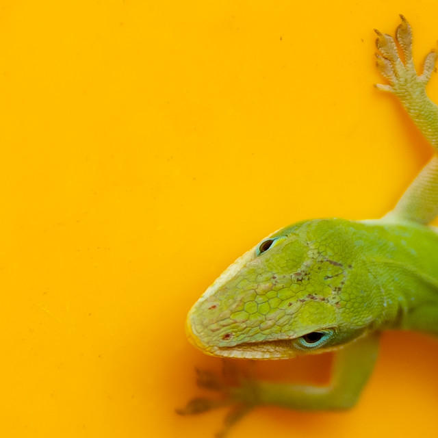 """Green lizard, yellow pot"" stock image"