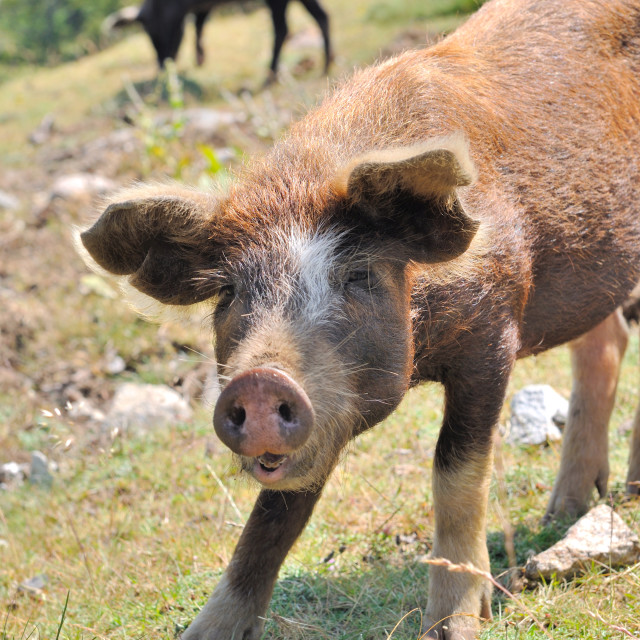"""young Corsican pig"" stock image"