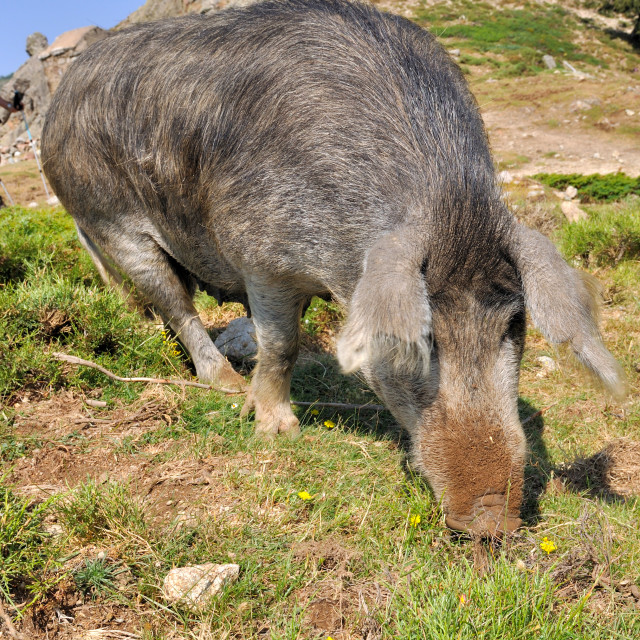"""corsican pig"" stock image"
