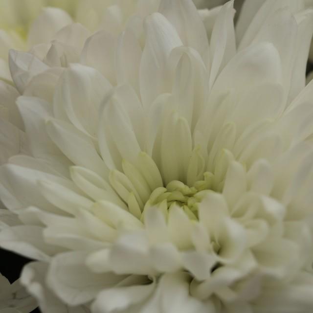 """White flower macro"" stock image"