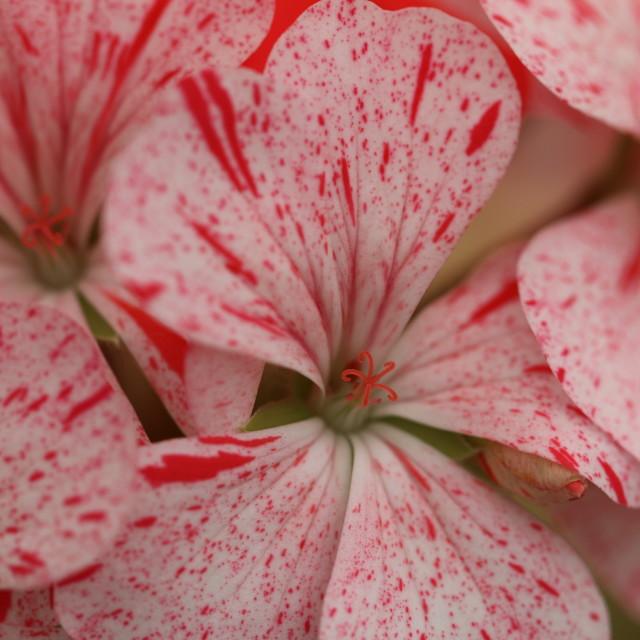 """Pink Geranium macro"" stock image"