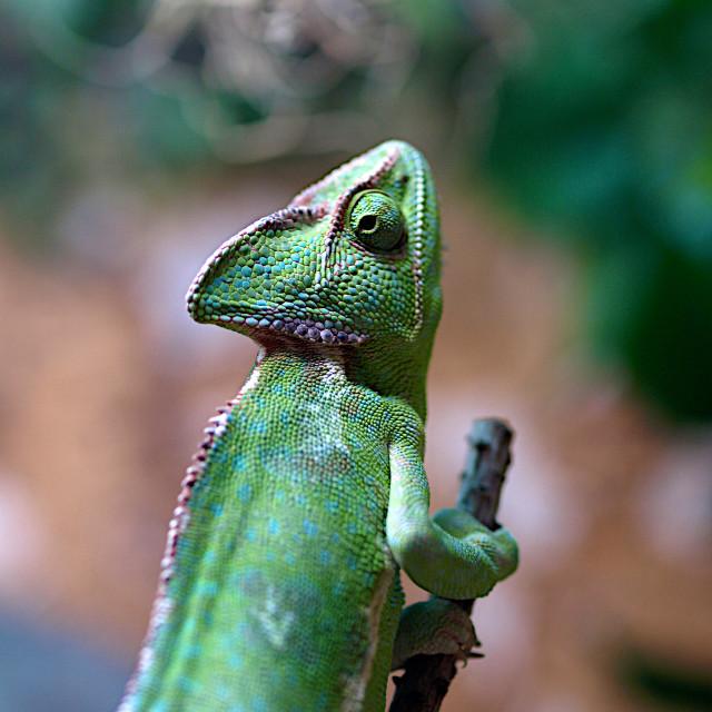 """""""Green Chameleon"""" stock image"""