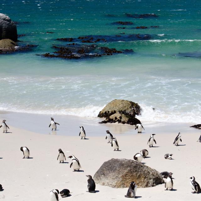 """Penguins, Boulders"" stock image"