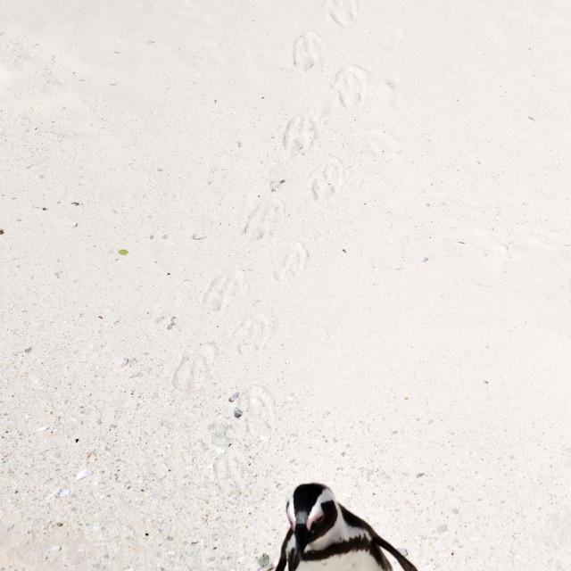 """Penguin, Boulders"" stock image"