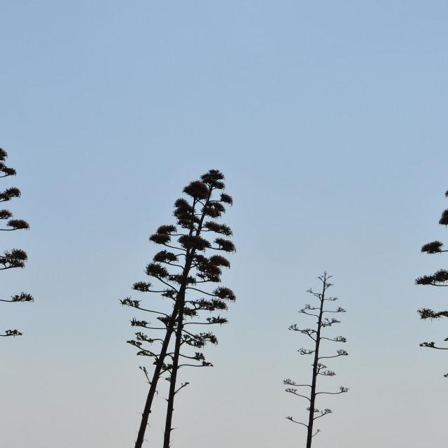 """agave tree century plant"" stock image"