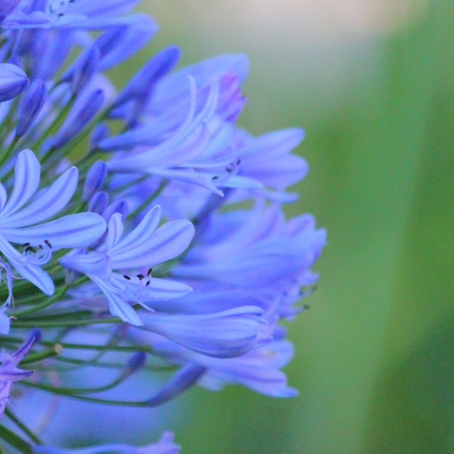 """Agapanthus flower"" stock image"