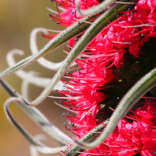 """""""Red Echium"""" stock image"""