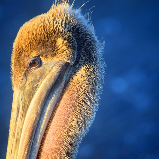 """Pelican Portrait"" stock image"