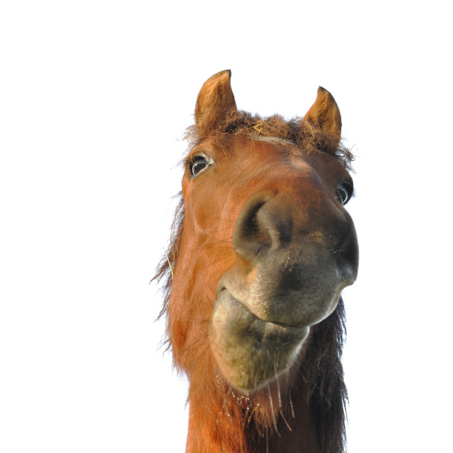 """humorous portrait of a horse"" stock image"