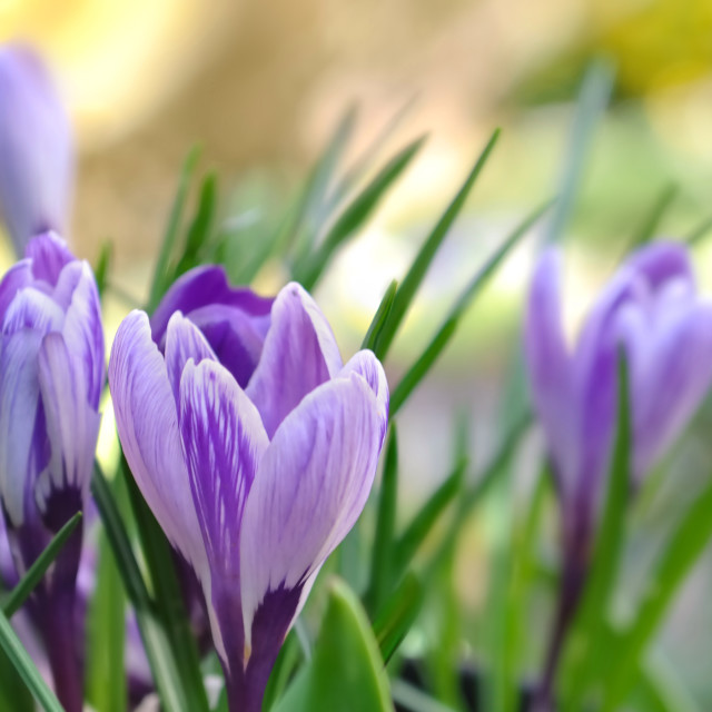 """pretty crocus"" stock image"
