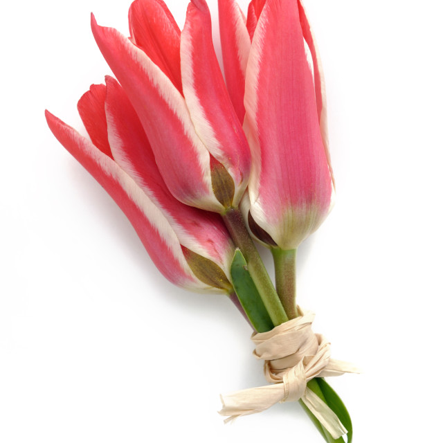 """lovely bouquet of tulips"" stock image"