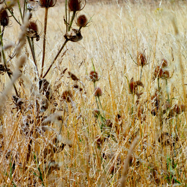 """Thistles in Reeds"" stock image"