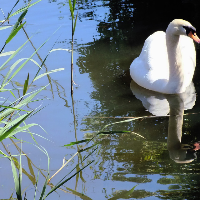 """swan with reeds"" stock image"