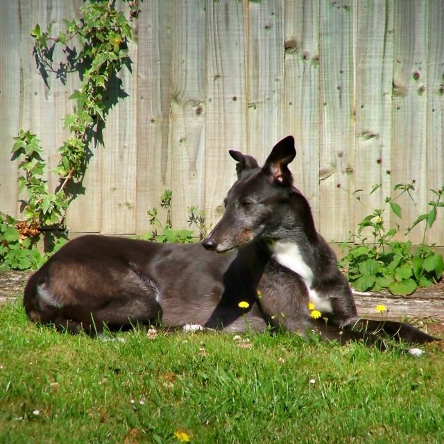 """""""Greyhound Sitting"""" stock image"""
