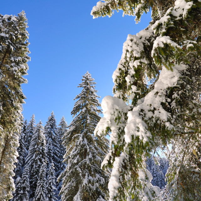 """firs covered by snow"" stock image"
