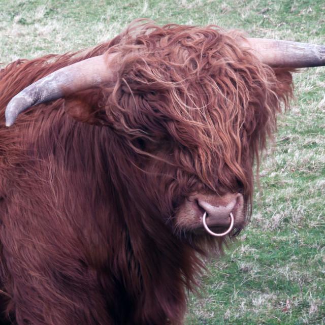 """highland bull"" stock image"