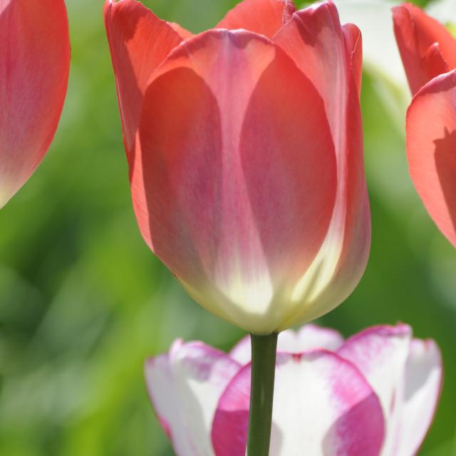 """Tulips"" stock image"