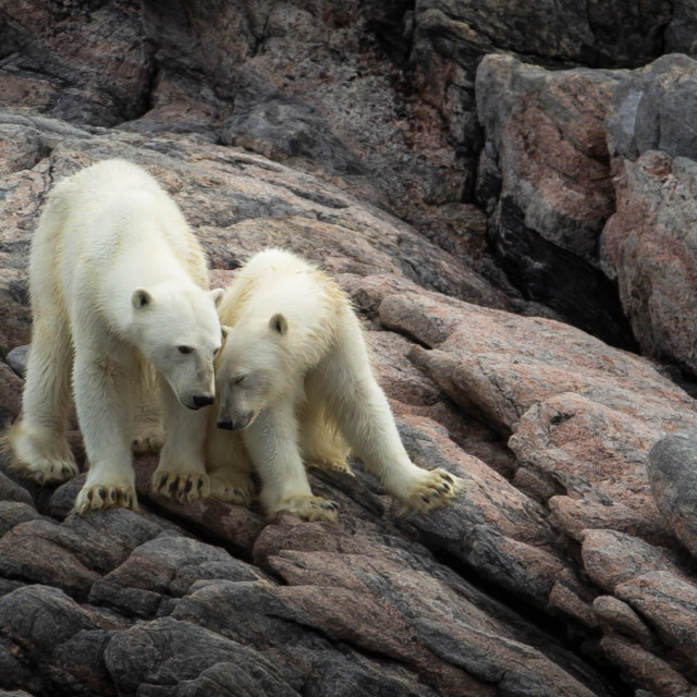 """Polar Bear - mother and cub"" stock image"