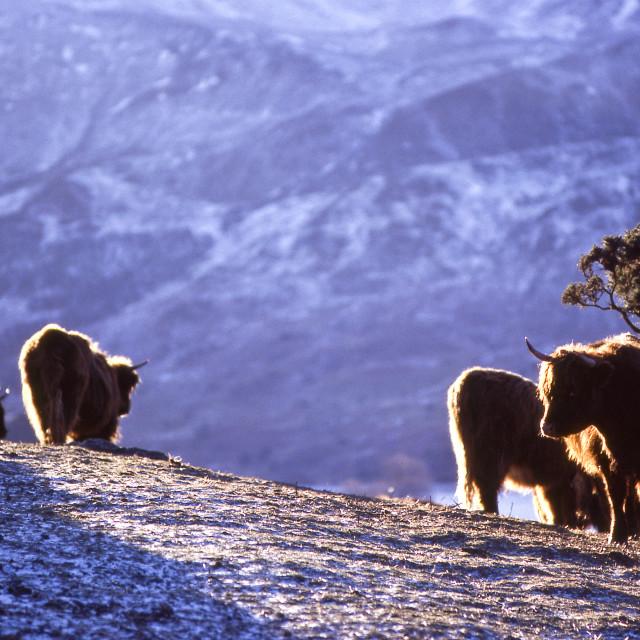 """""""Highland cattle, winter hillside"""" stock image"""