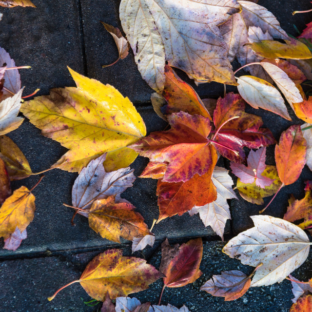 """Fall leaves on sidewalk"" stock image"