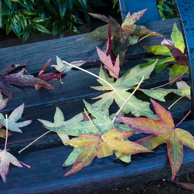 """Maple leaves on a bench"" stock image"
