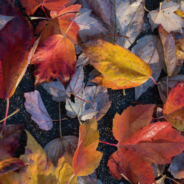 """Maple leaves on a sidewalk"" stock image"
