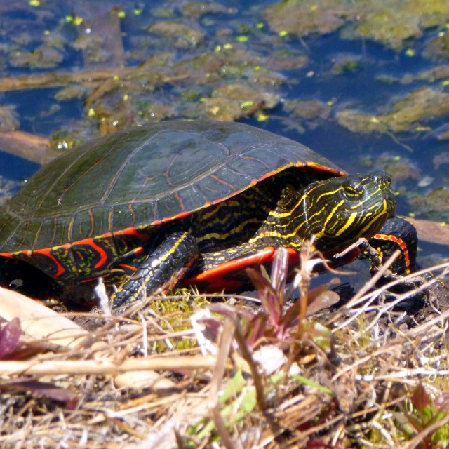 """""""Western Painted Turtle (Chrysemys picta bellii)"""" stock image"""