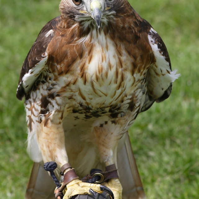 """Hawk"" stock image"
