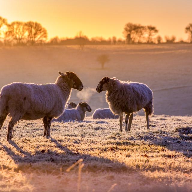 """Frosty Sheep"" stock image"