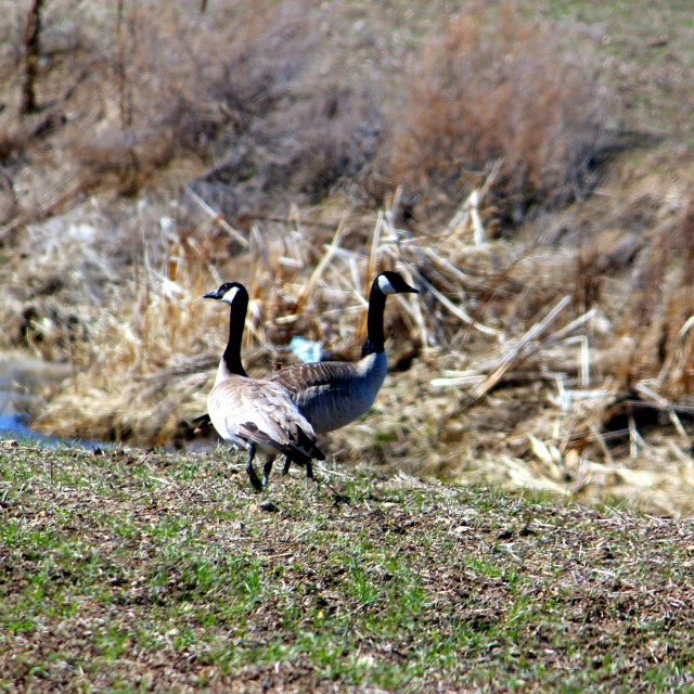 """""""Canada geese"""" stock image"""