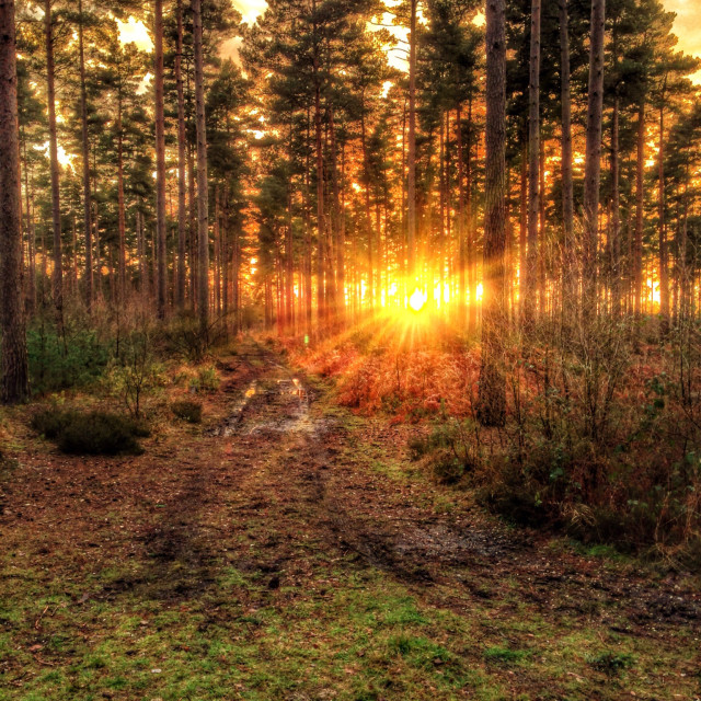 """Evening sun shining through the trees"" stock image"